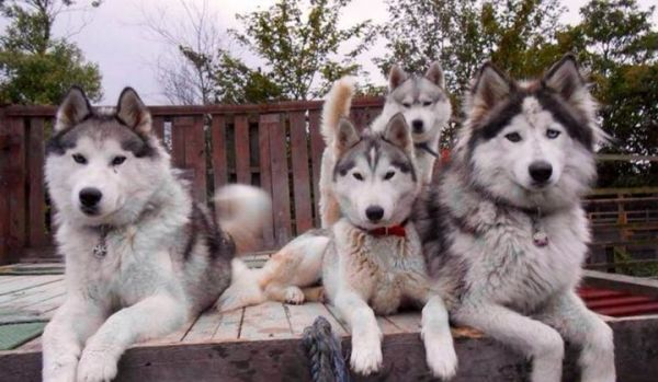 Sera Husky and animal rescue