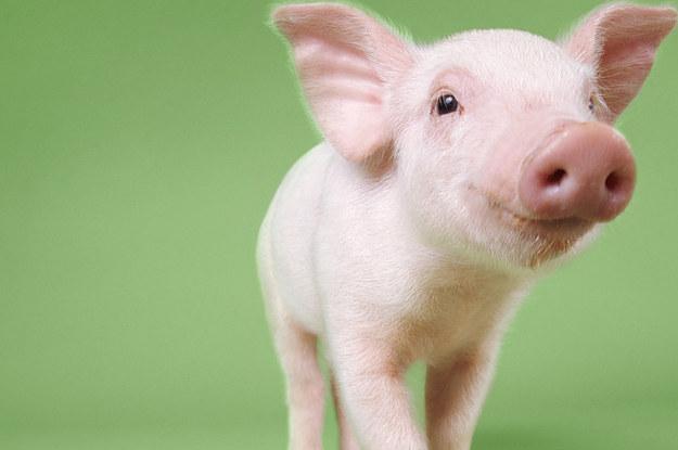 Pig. Piglet. Cute. Animal